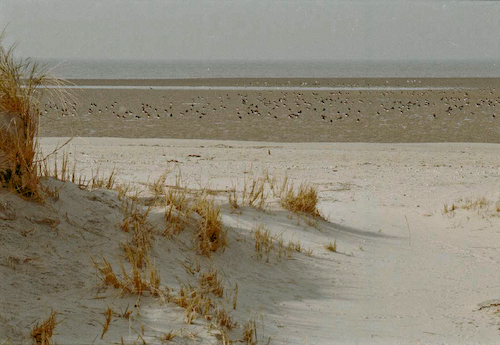 Memmert_Austernfischer_Strand