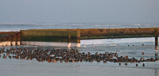 Stockenten schalfen auf eisfreier Fläche an der Hafeneinfahrt von Dornumersiel/LK Aurich