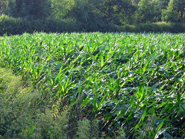 Hier zog die Windhose an einem Maisfeld vorbei, zahlreiche Kleinvögel hatten zwischen den Stängeln Schutz gesucht