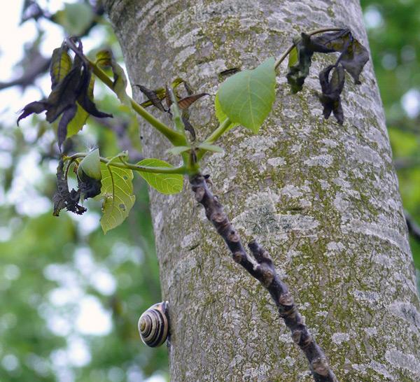 Frostgeschädigter Walnussbaum